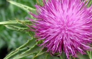 Women Are Including Milk Thistle In Their Diet
